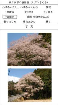 higansakura.jpg