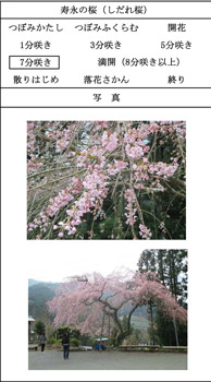 jyueisakura.jpg