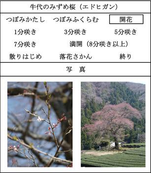 mizumesakura.jpg